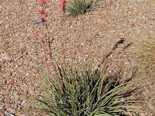 Redflower False Yucca (Hesperaloe Parviflora) http://www.sagebud.com/redflower-false-yucca-hesperaloe-parviflora/