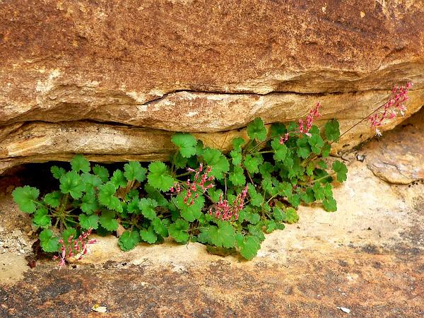 Pink Alumroot (Heuchera Rubescens) http://www.sagebud.com/pink-alumroot-heuchera-rubescens