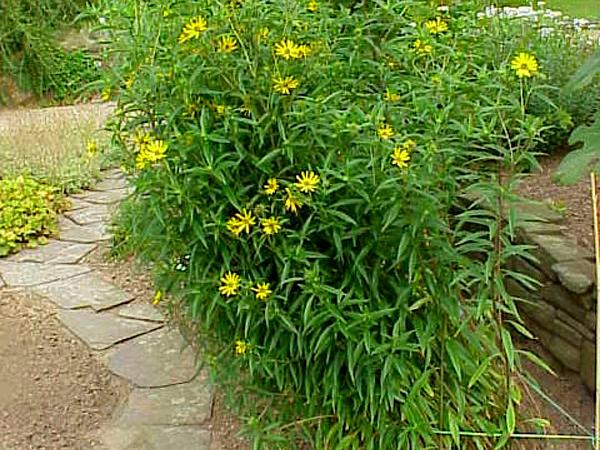 Willowleaf Sunflower (Helianthus Salicifolius) http://www.sagebud.com/willowleaf-sunflower-helianthus-salicifolius