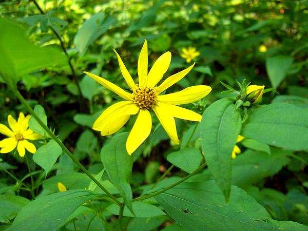 Paleleaf Woodland Sunflower (Helianthus Strumosus) http://www.sagebud.com/paleleaf-woodland-sunflower-helianthus-strumosus