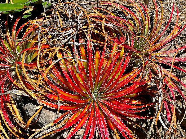 Texas False Agave (Hechtia Texensis) http://www.sagebud.com/texas-false-agave-hechtia-texensis
