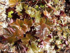 HEVI2/Heuchera_villosa_300.jpg