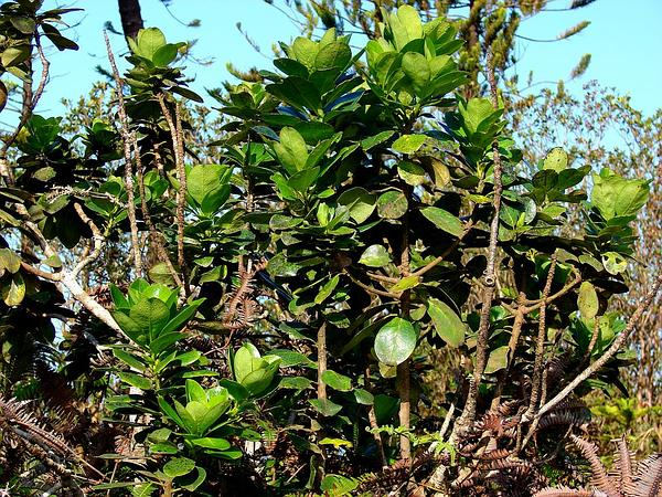 Hawai'I Holly (Ilex Anomala) http://www.sagebud.com/hawaii-holly-ilex-anomala/