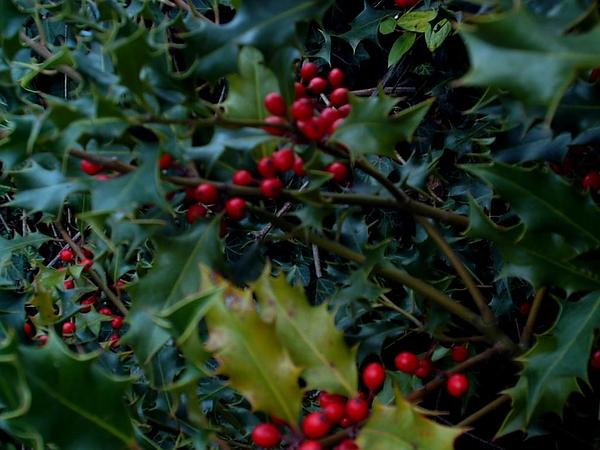 English Holly (Ilex Aquifolium)