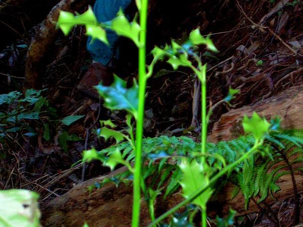 English Holly (Ilex Aquifolium) http://www.sagebud.com/english-holly-ilex-aquifolium