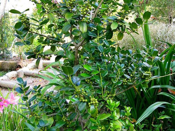 Chinese Holly (Ilex Cornuta) http://www.sagebud.com/chinese-holly-ilex-cornuta