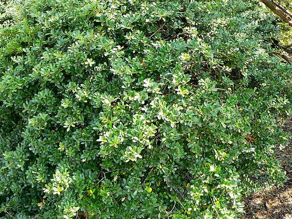 Japanese Holly (Ilex Crenata) http://www.sagebud.com/japanese-holly-ilex-crenata