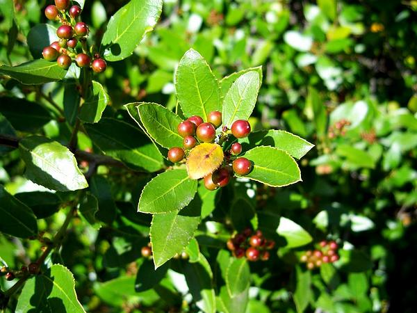 Japanese Holly (Ilex Crenata)