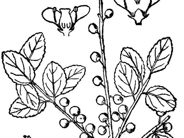 Inkberry (Ilex Glabra) http://www.sagebud.com/inkberry-ilex-glabra/