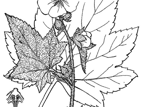 Wild Hollyhock (Iliamna) http://www.sagebud.com/wild-hollyhock-iliamna