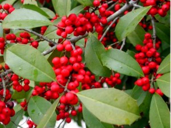 American Holly (Ilex Opaca) http://www.sagebud.com/american-holly-ilex-opaca