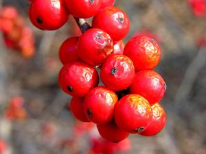 ILVE/American_Winterberry_Ilex_verticillata_'Winter_Red'_Berries_3264px_300.jpg