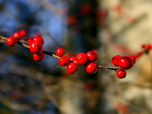 Common Winterberry (Ilex Verticillata) http://www.sagebud.com/common-winterberry-ilex-verticillata