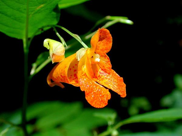 Jewelweed (Impatiens Capensis) http://www.sagebud.com/jewelweed-impatiens-capensis/