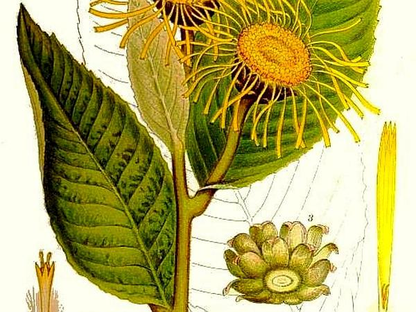 Yellowhead (Inula)