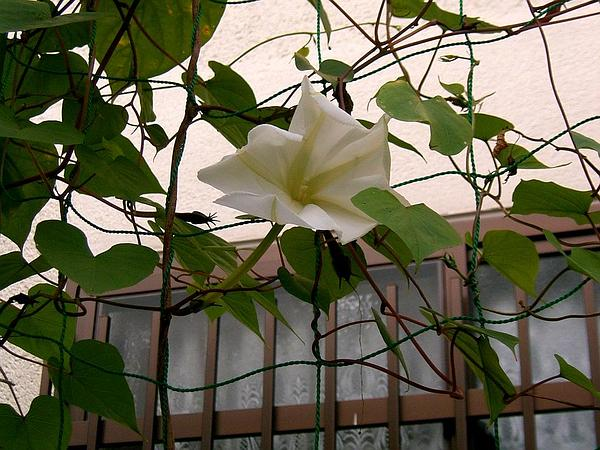Tropical White Morning-Glory (Ipomoea Alba) http://www.sagebud.com/tropical-white-morning-glory-ipomoea-alba