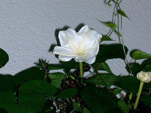 Tropical White Morning-Glory (Ipomoea Alba) http://www.sagebud.com/tropical-white-morning-glory-ipomoea-alba/