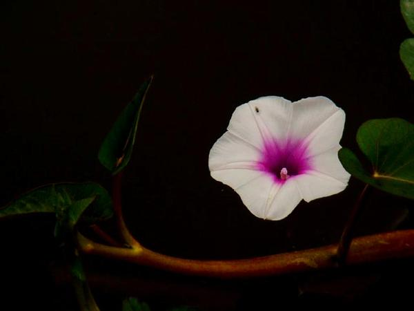 Swamp Morning-Glory (Ipomoea Aquatica)