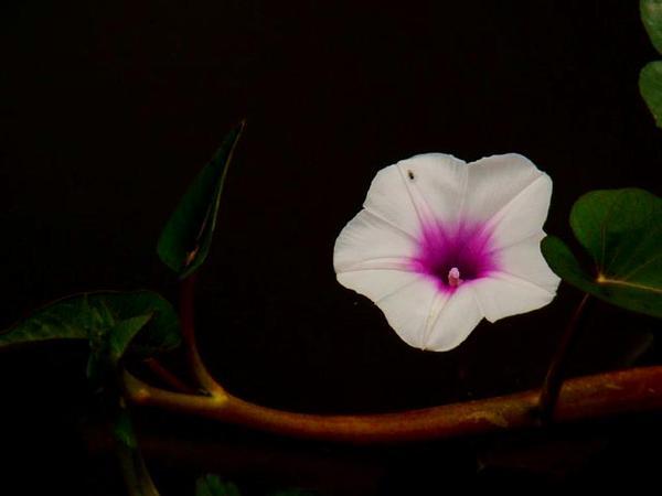 Swamp Morning-Glory (Ipomoea Aquatica) http://www.sagebud.com/swamp-morning-glory-ipomoea-aquatica/