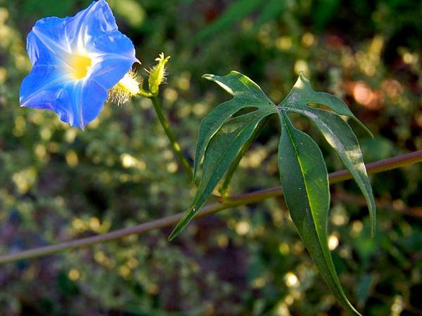 Canyon Morning-Glory (Ipomoea Barbatisepala) http://www.sagebud.com/canyon-morning-glory-ipomoea-barbatisepala