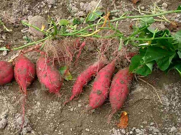 Sweetpotato (Ipomoea Batatas) http://www.sagebud.com/sweetpotato-ipomoea-batatas/