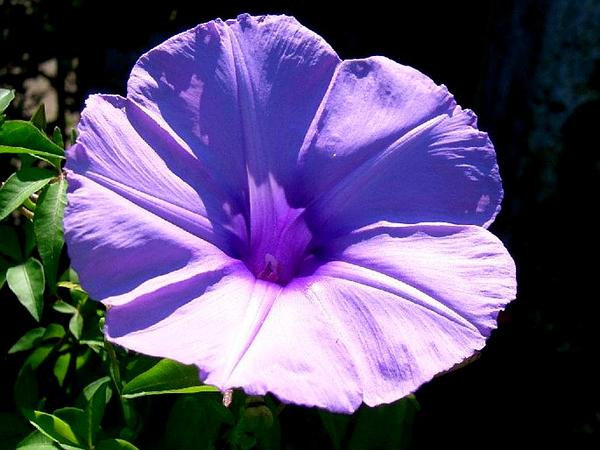 Mile A Minute Vine (Ipomoea Cairica) http://www.sagebud.com/mile-a-minute-vine-ipomoea-cairica/