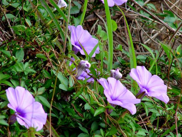 Mile A Minute Vine (Ipomoea Cairica) http://www.sagebud.com/mile-a-minute-vine-ipomoea-cairica