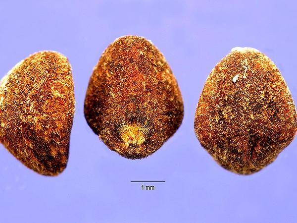 Redstar (Ipomoea Coccinea) http://www.sagebud.com/redstar-ipomoea-coccinea