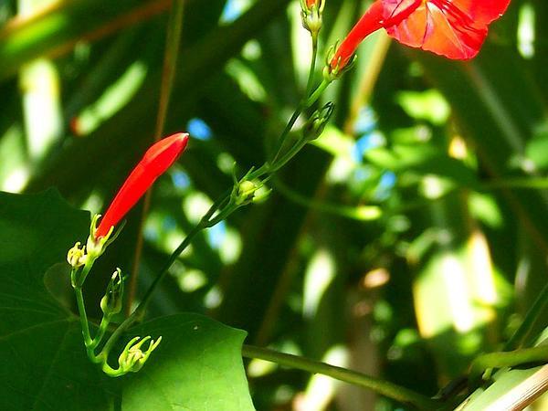 Scarletcreeper (Ipomoea Hederifolia) http://www.sagebud.com/scarletcreeper-ipomoea-hederifolia