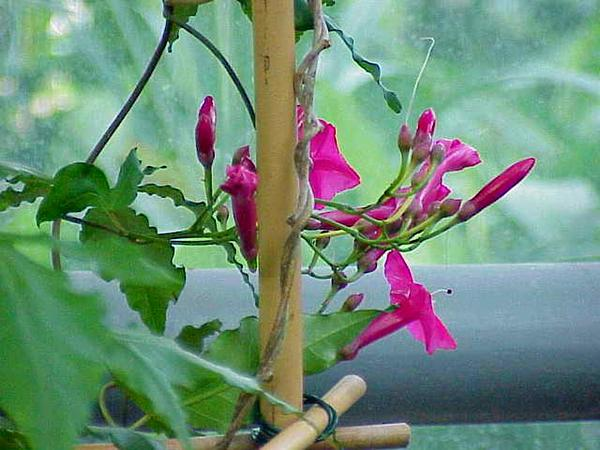 Lady Doorly's Morning-Glory (Ipomoea Horsfalliae) http://www.sagebud.com/lady-doorlys-morning-glory-ipomoea-horsfalliae/