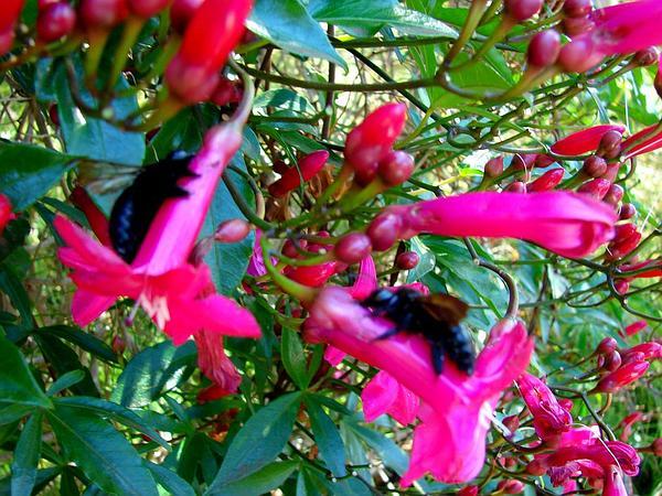 Lady Doorly's Morning-Glory (Ipomoea Horsfalliae) http://www.sagebud.com/lady-doorlys-morning-glory-ipomoea-horsfalliae
