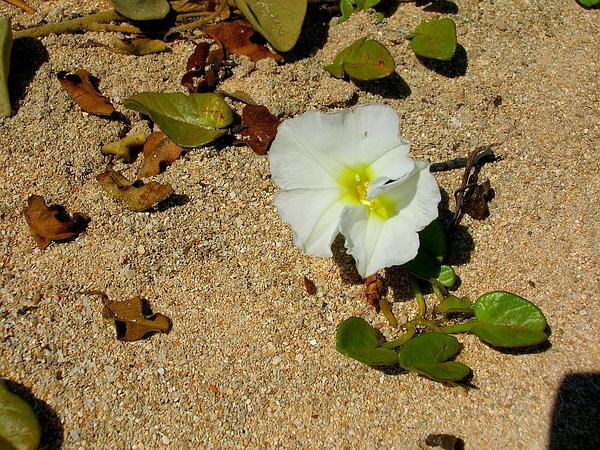 Beach Morning-Glory (Ipomoea Imperati) http://www.sagebud.com/beach-morning-glory-ipomoea-imperati