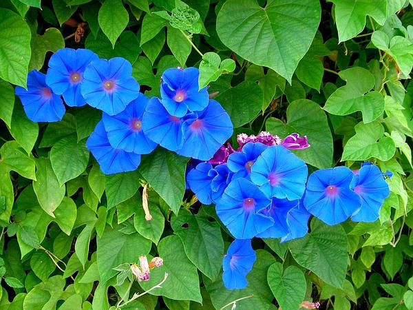 Oceanblue Morning-Glory (Ipomoea Indica)