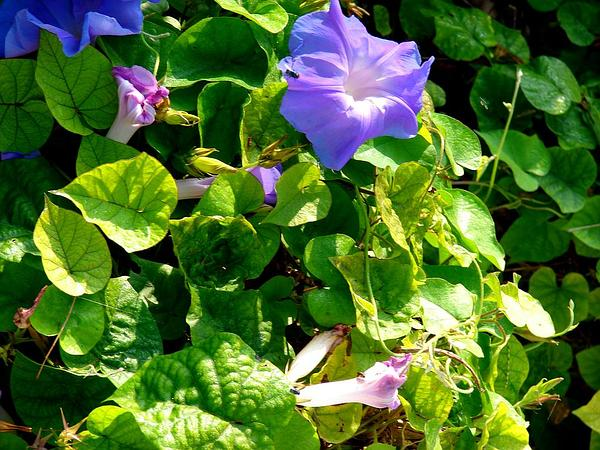 Oceanblue Morning-Glory (Ipomoea Indica) http://www.sagebud.com/oceanblue-morning-glory-ipomoea-indica