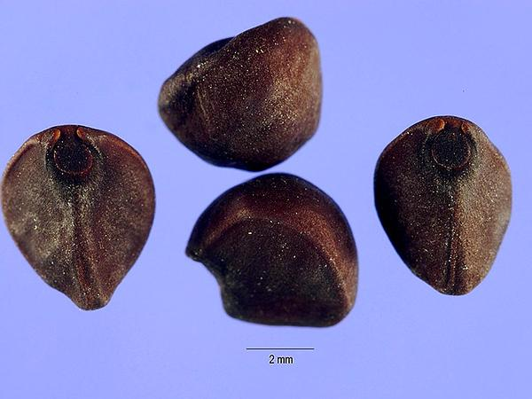 Whitestar (Ipomoea Lacunosa) http://www.sagebud.com/whitestar-ipomoea-lacunosa