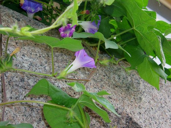 Whiteedge Morning-Glory (Ipomoea Nil) http://www.sagebud.com/whiteedge-morning-glory-ipomoea-nil/