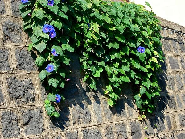 Morning-Glory (Ipomoea)