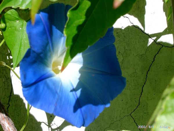 Morning-Glory (Ipomoea) http://www.sagebud.com/morning-glory-ipomoea