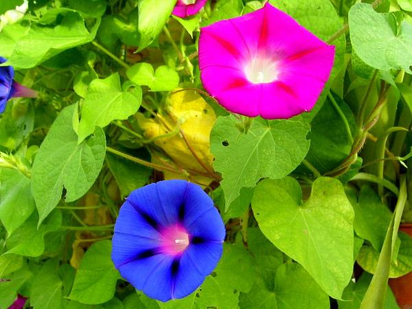 Tall Morning-Glory (Ipomoea Purpurea) http://www.sagebud.com/tall-morning-glory-ipomoea-purpurea