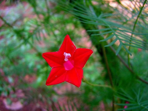 Cypressvine (Ipomoea Quamoclit) http://www.sagebud.com/cypressvine-ipomoea-quamoclit/
