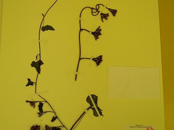 Littlebell (Ipomoea Triloba) http://www.sagebud.com/littlebell-ipomoea-triloba