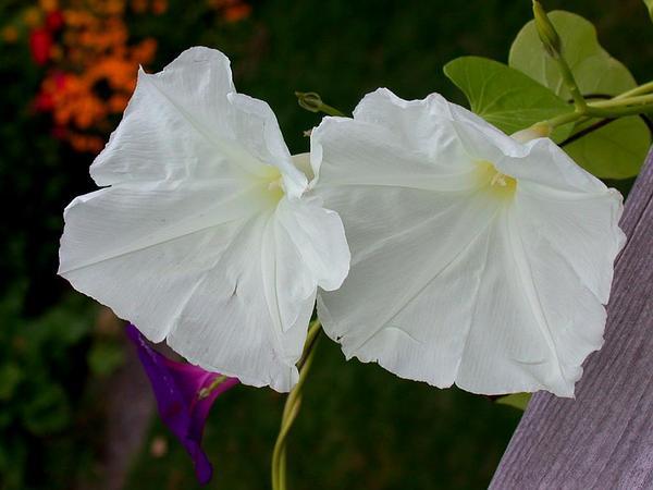 Grannyvine (Ipomoea Tricolor) http://www.sagebud.com/grannyvine-ipomoea-tricolor