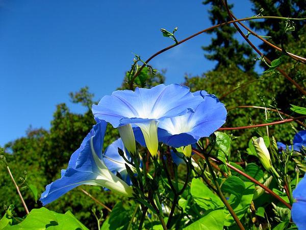 Grannyvine (Ipomoea Tricolor) http://www.sagebud.com/grannyvine-ipomoea-tricolor/