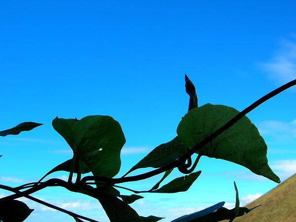Hawai'I Morning-Glory (Ipomoea Tuboides) http://www.sagebud.com/hawaii-morning-glory-ipomoea-tuboides