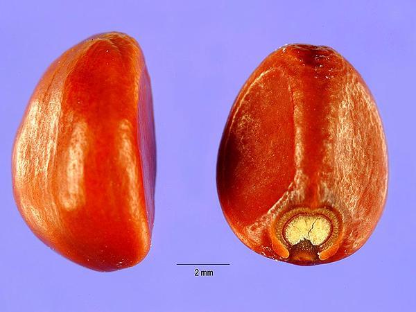 Lilacbell (Ipomoea Turbinata) http://www.sagebud.com/lilacbell-ipomoea-turbinata