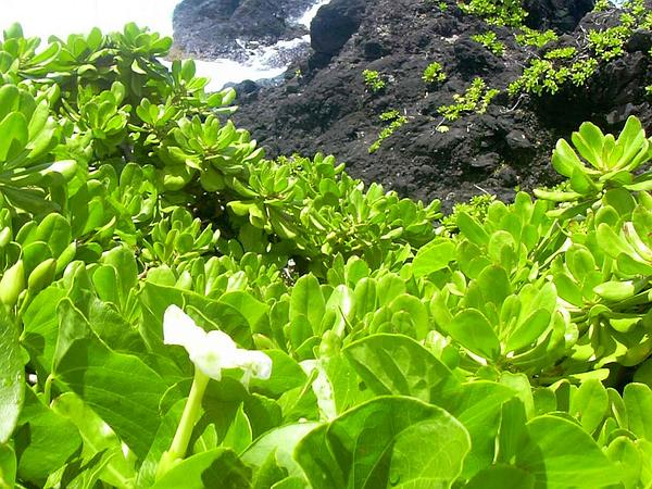 Beach Moonflower (Ipomoea Violacea) http://www.sagebud.com/beach-moonflower-ipomoea-violacea