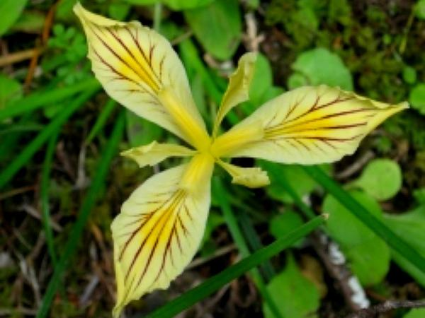 Yellowleaf Iris (Iris Chrysophylla) http://www.sagebud.com/yellowleaf-iris-iris-chrysophylla