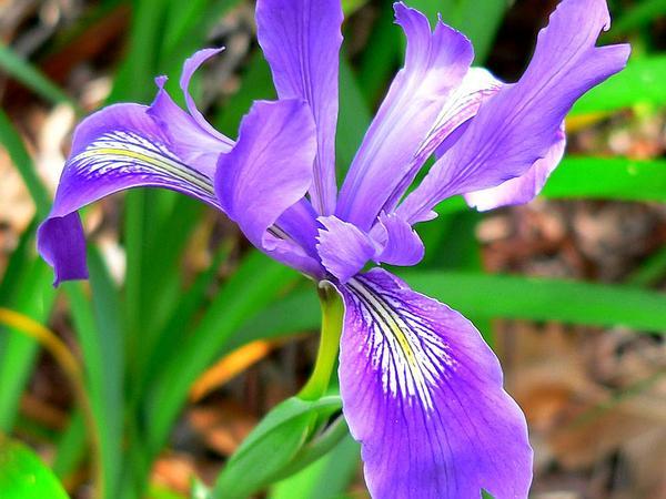 Douglas Iris (Iris Douglasiana) http://www.sagebud.com/douglas-iris-iris-douglasiana