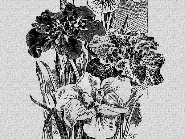 Japanese Iris (Iris Ensata) http://www.sagebud.com/japanese-iris-iris-ensata