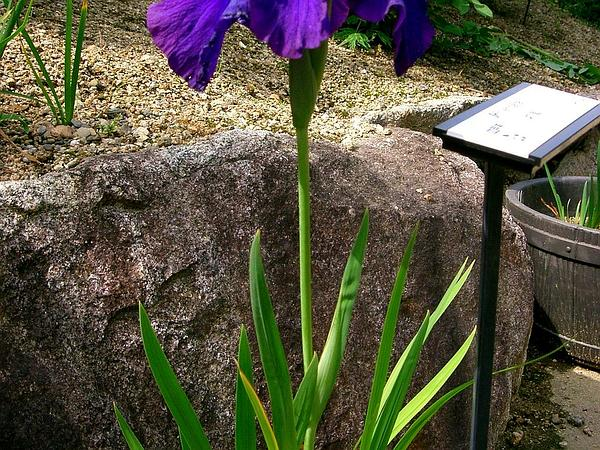 Japanese Iris (Iris Ensata) http://www.sagebud.com/japanese-iris-iris-ensata/